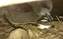 A grey faced petrel discovered at Bream Head, Whangarei.