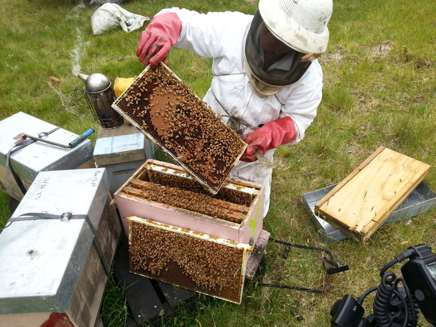 A beekeeper inspecting a hive.