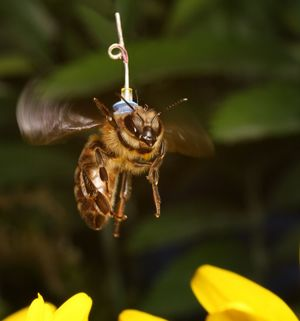 Honey bees provide a good model to study the effect of anaesthesia on circadian rhythms.