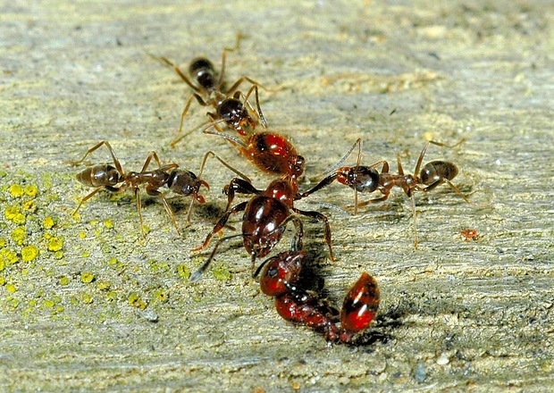 Ant fight: invasive Argentine ants attacking the larger southern ant, a species that is native to New Zealand and common outside of forest ecosystems.