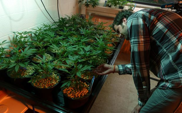 Holden Sproul, sales manager for The Growing Kitchen looks at marijuana plants in Lafayette, Colorado.