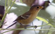 The Tinian monarch is endemic to Northern Mariana Islands, and found only on the island of Tinian. 2012