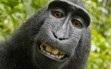 The 'selfie' taken by Naruto the monkey.