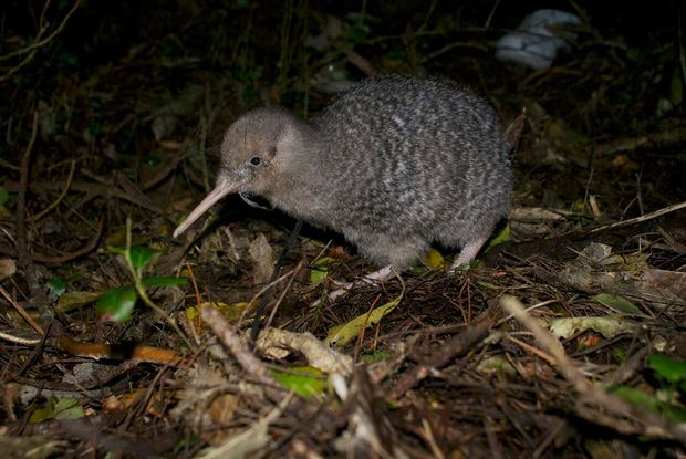 A little spotted kiwi (photo provided by Wellington's Zealandia)