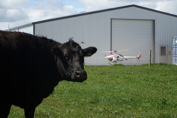 A local cow barely notices the drone touch down after completing its demonstration flight in Taranaki.