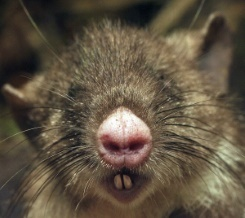The newly discovered hog-nosed rat.