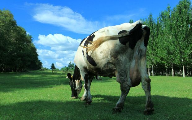 Dairy cow in field generic