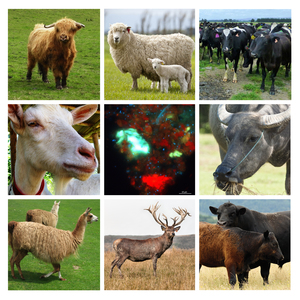 A few of the ruminant animals in the study - as well as a microscopic image (centre) of the microbes that cause methane emissions as part of the feed fermentation.
