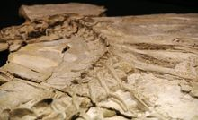 Concavenator corcovatus - dinosaur fossils found in the deposit of the Hoyas, in the Spanish province of Cuenca, in 2010.