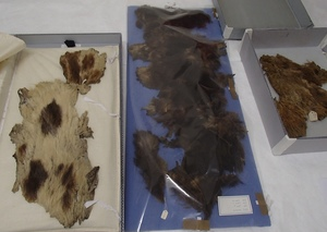 Otago Museum has a small collection of rare kuri, or Maori dog skins, collected from Central Otago. While many cloaks made from kuri skins use just white fur, these skins are brown and even spotted.