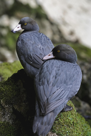A pair of whio (native blue ducks) in the South Island.