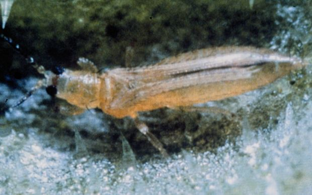 Close up of the Thrips Palmi or Melon Thrips.