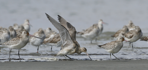 Exhausted juvenile godwit's newly arrived on Foxton Beach.