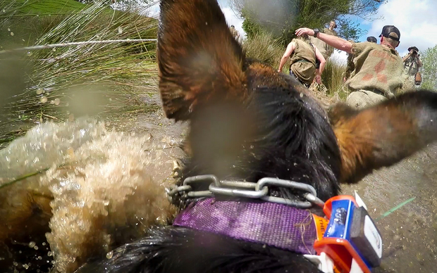 A Huntaway dog wades through a swamp during the Shepherd's Shemozzle in Hunterville.