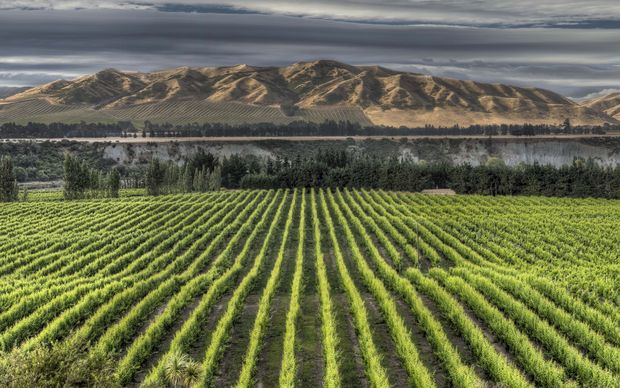 Vineyard with mid-summer growth on grape vines, Awatere Valley near Seddon, Marlborough, New Zealand.