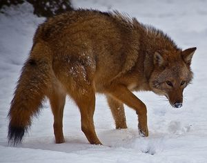 Eastern Coyote in snow in Virginia USA