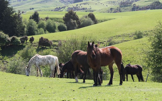 Horses grazing happily in South Otago