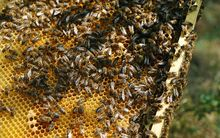 Picture of bees taken in Colomiers, southwestern France, on June 1, 2012.
