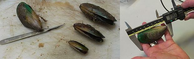 Different size mussel shells, and a mussel being measured with electronic calipers