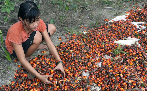 This picture taken on September 16, 2015 shows 13-year-old Indonesian girl Asnimawati working at a palm oil plantation area in Pelalawan, Riau province in Indonesia's Sumatra island.