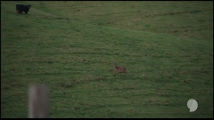 pisture showing a cow in the background when a deer was shot on Story's hunting trip with Simon Lusk.