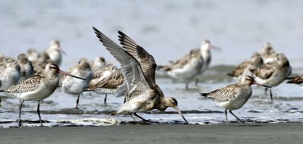 Weary young godwits arrive at Foxton Beach  after 11-thousand kilometre journey