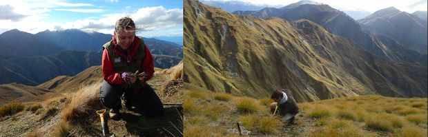Barbara Anderson (left) and Ralf Ohlemuller (rght) digging up the more-than 800 tea bags that they buried at different altitudes along a ridge leading to the summit of Mount Cardrona, near Wanaka.
