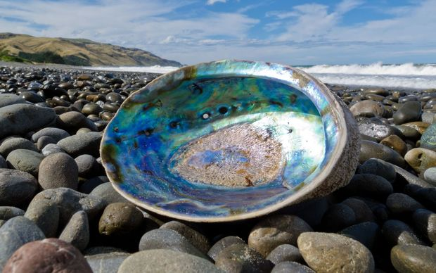 Beached empty paua shell.