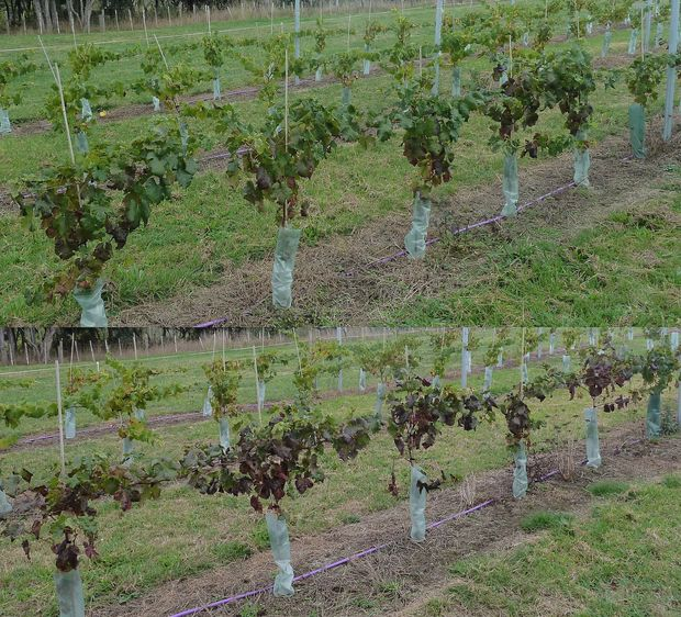 The top line of grape vines shows a slight reddening of leaves,while the lower line of grapes has many more deeply red leaves