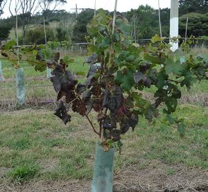 Reddening of leaves caused by the leafroll-3 virus - the green veins are a clear mark of the virus
