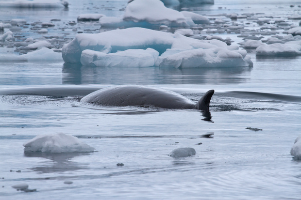 A minke whale floats between small ice floes in the Antarctic Ocean.