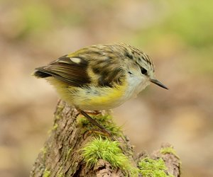 A female rifleman. Rifleman and rock wrens are the only two surviving members of an ancient group of endemic New Zealand wrens.