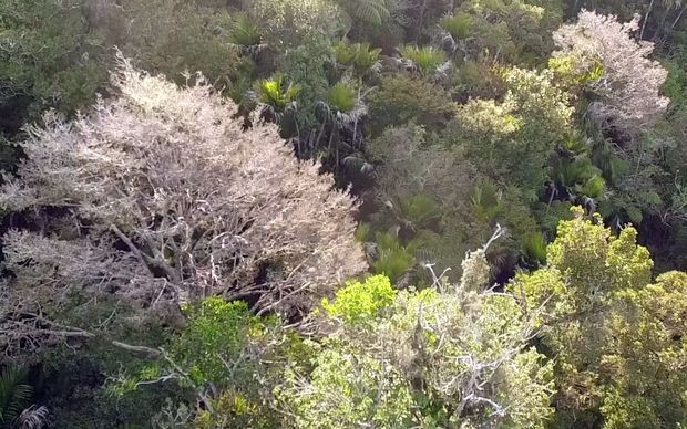 Drone footage of the dying trees seen in Northland forests.