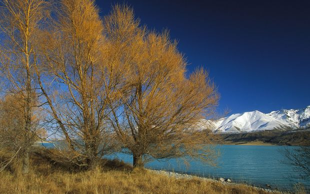 Lake Pukaki and Ben Chau Range with Larch trees changing to autumn colors near Mt Cook Station, New Zealand. 