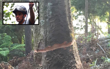The Kauri was attacked with a chainsaw while protester Johno Smith was in its branches.
