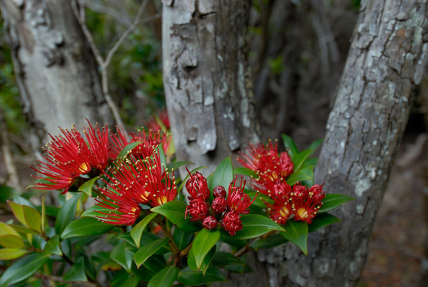 Southern Rātā (Metrosideros umbellata) on the Auckland Islands south of New Zealand.