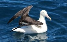 A rare northern royal albatross.