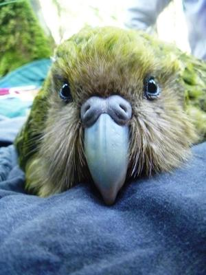 Face of a young female kakapo