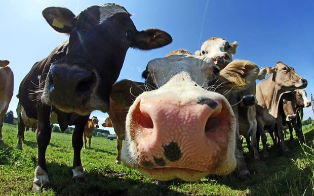 eight_col_Cows_up_close_16x10.jpg?1453257393