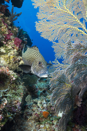 Spotted sweetlips in Palau
