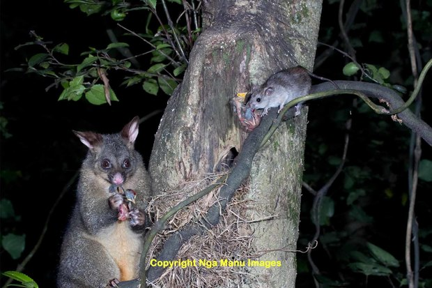 Possum and a ship rat photographed at night eating thrush chicks