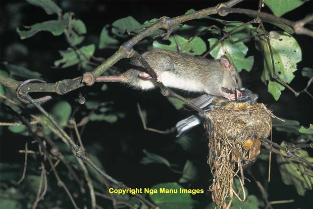 Ship rat eating a fantail on the nest
