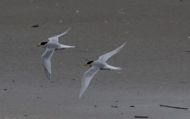 Fairy terns in flight at Mangawhai