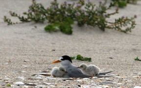 Fairy tern with chicks at Mangawhai