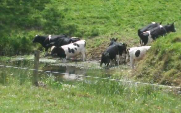 Cattle on Waiotu River in Northland - Millan Ruka said the council had a poor track record in stopping pollution.