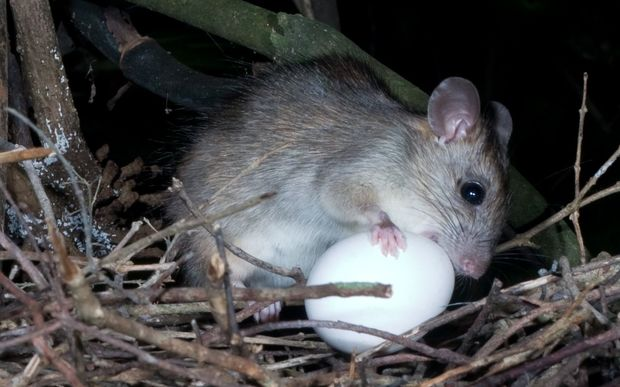 Ship rat eating a kereru egg