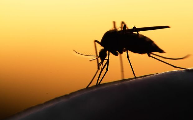 based mosquito could transmit Zika - researchers