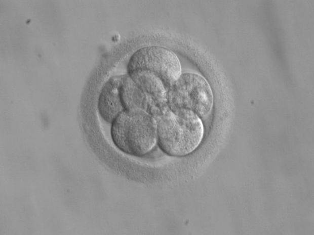 A human embryo, here seen in its eight-cell stage, doubles its number of cells at each division.