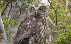 The morepork, or ruru, is our only surviving native owl.