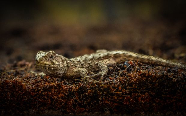 A tuatara hatched at Chester Zoo, UK.